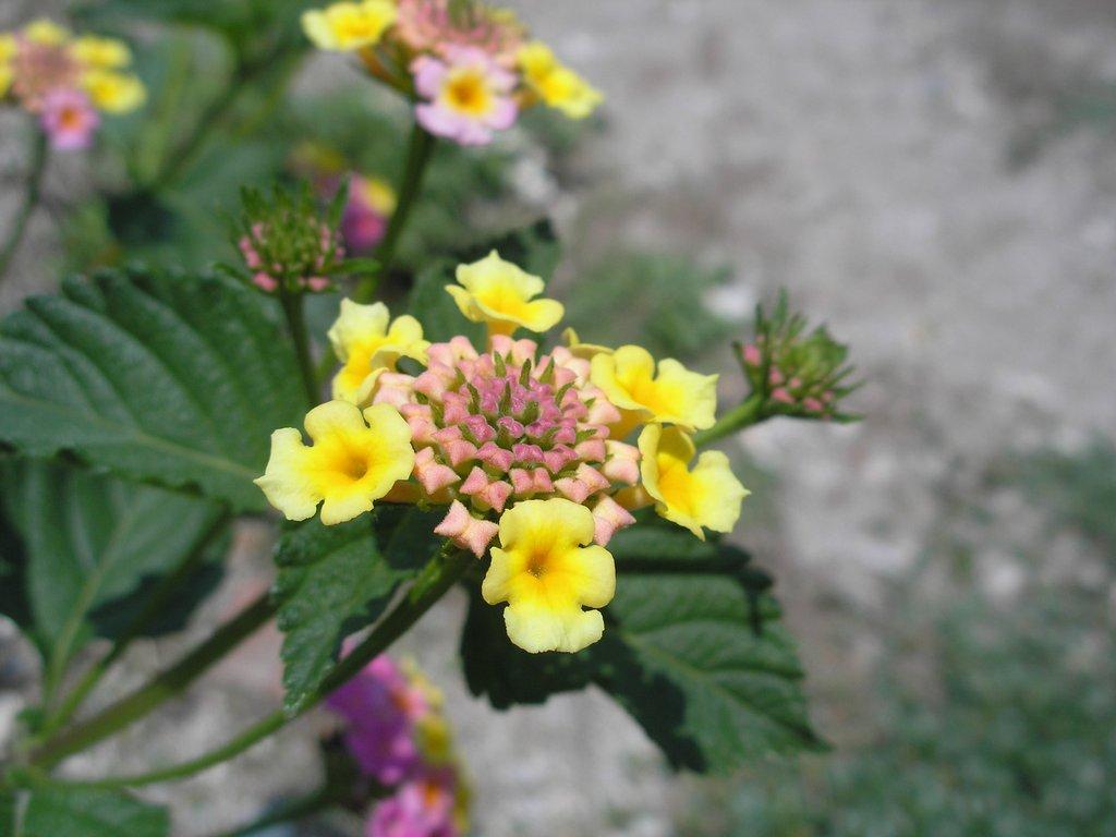 Flor en Progreso
